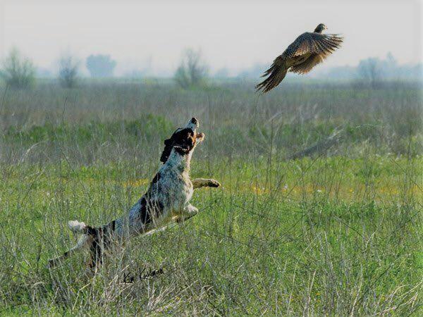 Охота в Астрахани на фазана